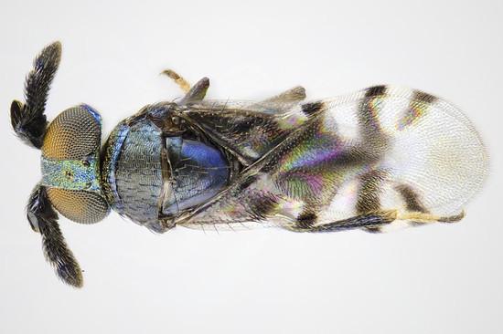 20121225_cerapteroceroides_a