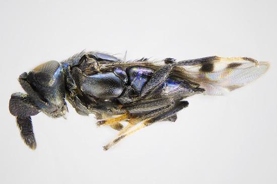 20121225_cerapteroceroides_b
