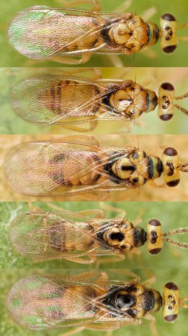 Euplectromorpha_1_2