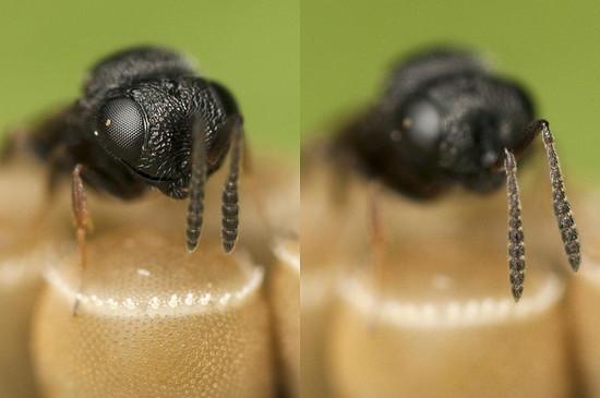 Trissolcus