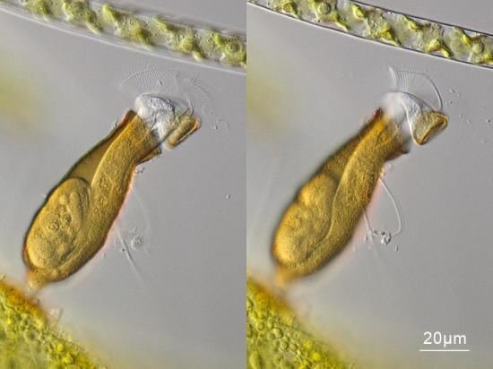 Pyxicola-sp