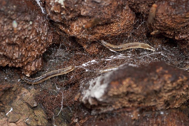 幼虫 キノコバエ