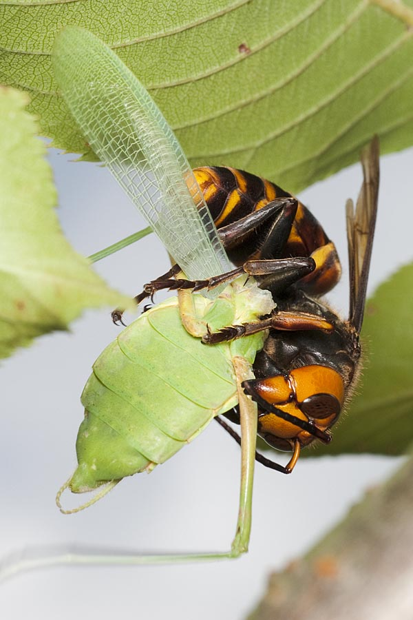スズメバチ カマキリ オオスズメバチとカマキリはどっちが強い?カマキリモドキが最強?