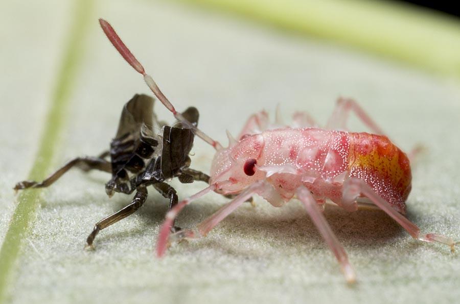 ゴキブリ 幼虫 脱皮